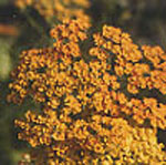 - Achillea 'Terracotta' (yarrow 'Terracota')