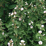 - Althaea officinalis (marshmallow)