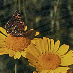 - Anthemis tinctoria (golden marguerite)