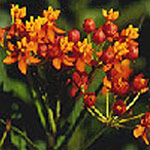 - Asclepias curassavica (red buttterfly)