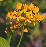 - Asclepias curassavica 'Silky Gold' (milkweed 'Silky Gold')