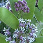 - Asclepias syriaca (common milkweed) seed packet