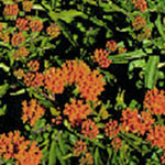 - Asclepias tuberosa (butterfly weed)