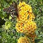 - Buddleja x weyeriana 'Sungold'(butterfly bush)