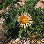 - Carlina aucalis (carline thistle)