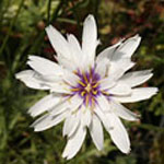 - Catananche caerulea 'Bicolor' (white cupid's dart)