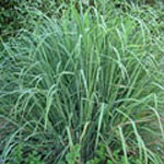 - Cymbopogon citratus (lemon grass}