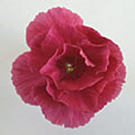 - Dianthus 'Bat's Double Red'