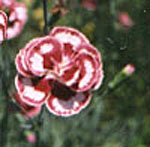 - Dianthus 'Laced  Romeo'