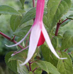 - Fuchsia  'Checkerboard'