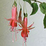 - Fuchsia 'Prince Of Orange'