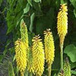 - Kniphofia 'Primrose Beauty' (red hot poker)