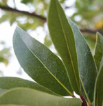 - Laurus nobilis (bay laurel)