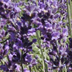 - Lavandula angustifolia 'Betty's Blue'
