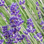 - Lavandula angustifolia 'Twickel Purple'