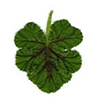 - Pelargonium 'Endsleigh Oak' (oak leaf scented geranium)