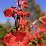 - Penstemon 'Firebird'