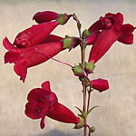 - Penstemon 'Red Trumpet'