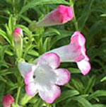 - Penstemon 'Thorn'