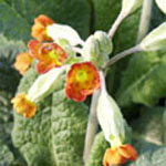 - Primula veris orange flowered (cowslip)