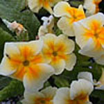 - Primula vulgaris (common primrose)