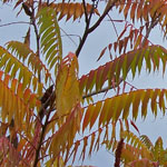 - Rhus typhina (staghorn sumac)