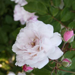 - Rosa 'Blush Noisette' (rose 'Blush Noisette')