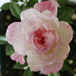 - Rosa 'Peggy's Pink' (mini rose)