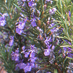 - Rosmarinus officinalis 'Herb Cottage' (rosemary 'Herb Cotage')