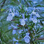 - Rosmarinus officinalis 'Sawyer's Blue' (rosemary 'Sawyers Blue')