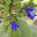 - Salvia mexicana var. minor (small Mexican sage)