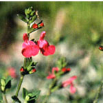 - Salvia microphylla (little leaf sage)