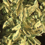 - Salvia officinalis 'Icterina' (golden sage)