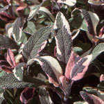 - Salvia officinalis 'Tricolor' (tricolor sage)