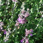 - Teucrium chamaedrys (wall germander)