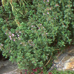 - Thymus 'Broadleaf English' ( English thyme )
