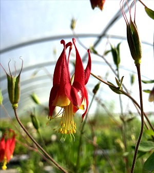 Aquilegia canadensis Eastern Colombine red flower bloom
