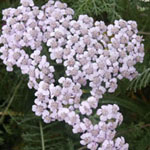 - Achillea 'Lilac Beauty' (yarrow 'Lilac Beauty')