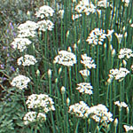 - Allium tuberosum (garlic chives)