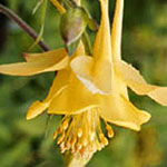 - Aquilegia chrysantha (golden columbine)
