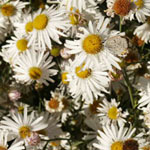 - Boltonia asteroides 'Snow Bank' (boltonia 'Snow Bank')