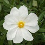 - Cistus 'Elma' (rock rose)