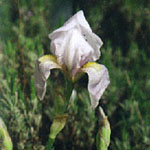 - Iris germanica var. florentina (orris root)