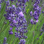 - Lavandula angustifolia 'Tucker's Early Purple'