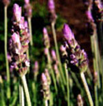 - Lavandula dentata (French lavender)