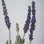 - Lavandula 'Goodwin Creek Grey'