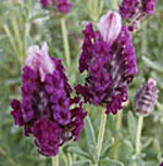 - Lavandula stoechas 'Kew Red' (Spanish lavender 'Kew Red')