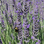 - Lavandula x intermedia 'Impress Purple'