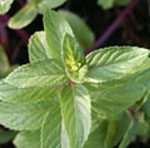 - Mentha 'Chocolate' (mint 'Chocolate')