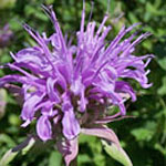 - Monarda menthifolia (mint leaved beeebalm)